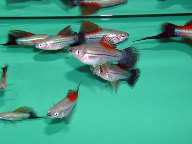 Allevamento fantail di mariusz scibiwolk di pesci d 39 acqua for Allevamento pesci