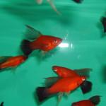 allevamento pesci tropicali