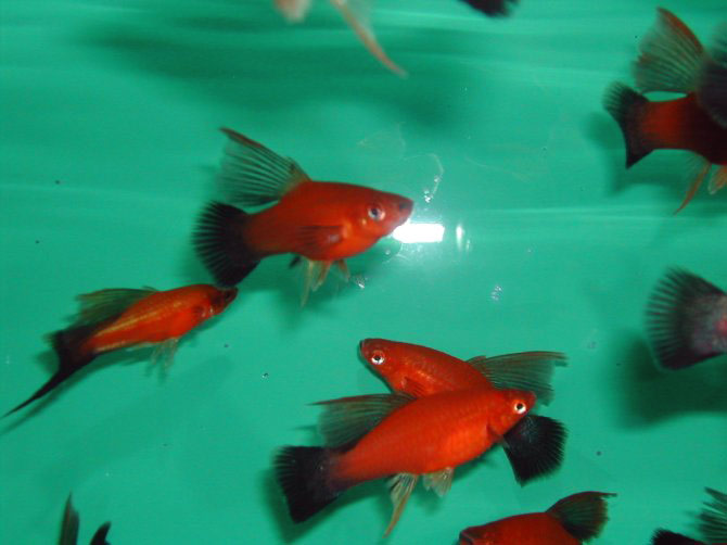 Allevamento di pesci d acqua dolce e d acqua marina fantail for Pesci acqua dolce