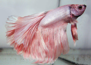 Betta Splendens -  var. Half Moon Platinum