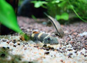 un pesce dell'allevamento pesci ornamentali Fantail