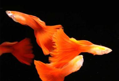 GUPPY – Poecilia reticulata