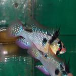 RAMIREZI – Microgeophagus ramirezi
