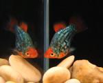 PLATY – Xiphophorus maculatus