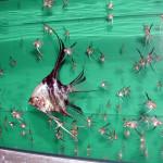 SCALARE – Pterophyllum scalare